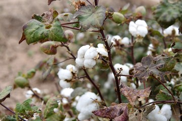 Cotton on plant ready to be picked