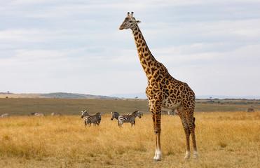 Close up Masai or Kilimanjaro Giraffe,  giraffa camelopardalis tippelskirchii, with common zebra, Equus quagga, in hilly savannah landscape