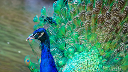 Peacock Animal With Beautiful Plumage