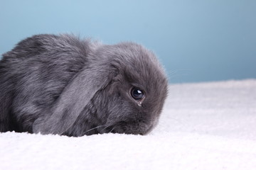 Little rabbit in front of a colored background