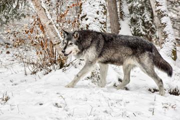 Tundra Wolf Walking through Birch Trees 3