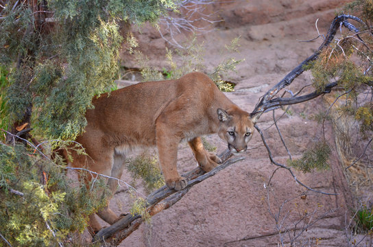 Mountain Lion up in a Tree