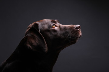 Brown labrador dog in front of a colored background
