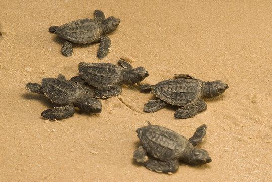 crias de tortuga lora kemp`s ridley, playa la pesca, tamaulipas mèxico