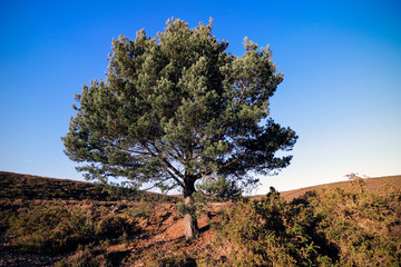 Tree at Woodbury Common in Devon