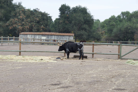 Black Longhorn Cattle on Farm