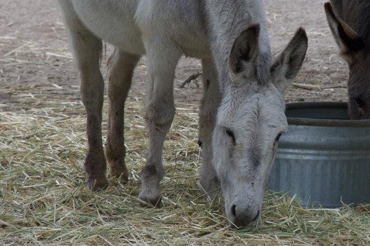 White Donkey Eating