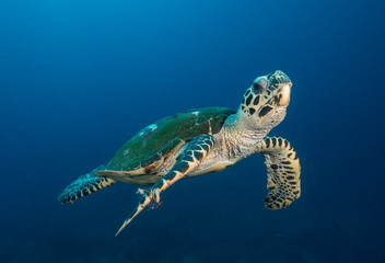 Photo sur Aluminium Tortue Sea turtle swimming