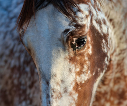 Portrait of rare mixed breed of Spanish and Appaloosa horse.
