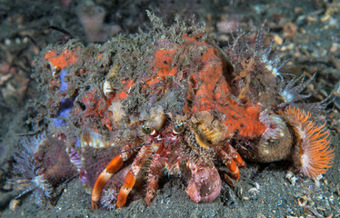 Decorator Crab