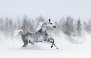 Purebred grey arabian horse galloping during blizzard.