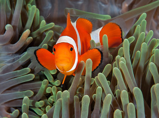 Bright clownfish in anemone