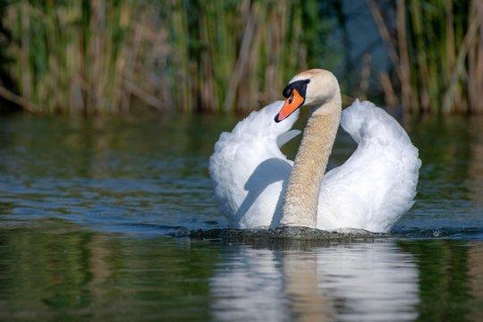 Mute swan (Cygnus olor), male swimming in water, Lake Constance, Vorarlberg, Austria, Europe