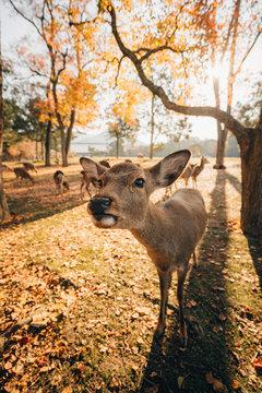 Japanese deer at Nara during fall