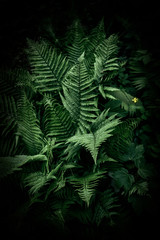 Fern in the dark forest. Beautiful fern leaves and bushes in the park. Forest landscape.
