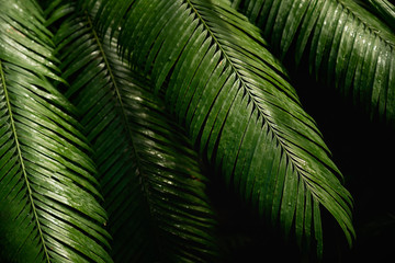 Natural green tropical bright green background of natural palm tree branches, foliage, fresh exotic botanical pattern, jungle texture