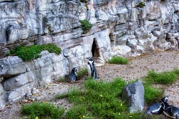 Penguins on background of rocks in summer.