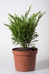 Seedling of a juniper in a flowerpot