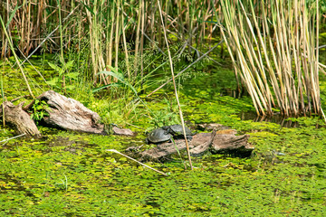 Typical landscape at swamp area of Imperial Pond (Carska bara), large natural habitat for birds and other animals from Serbia. Mating the turtles.