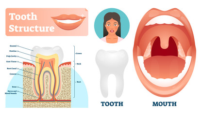 Tooth structure vector illustration. Labeled medical healthy teeth scheme.