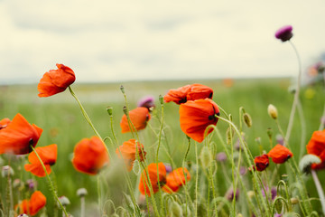 Poster Poppy on the green field grow red fragrant flowers