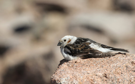 A male Snow Bunting (Plectrophenax nivalis) in summer plumage resting on a rock,  high in the Scottish mountains.