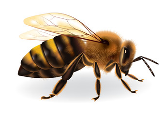 Bee on white background, vector