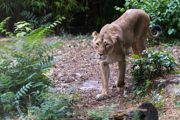 Löwin auf Kontrollgang