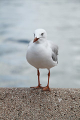 Seagull alone standing