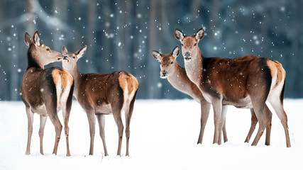 Wall Mural - Group of beautiful female graceful deer on the background of a snowy winter forest. Noble deer (Cervus elaphus). Winter wonderland.