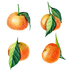 Watercolor Tangerines with leaves. Set for print design.Mandarin