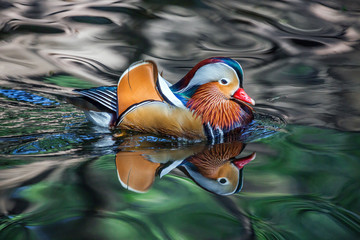 Mandarin ducks are swimming in the natural atmosphere.