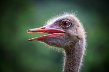 Ostrich face in the atmosphere of nature.
