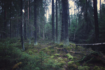 Thick spruce forest with young Christmas trees and mossy ground