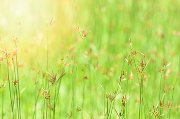 grass field background / Green meadow grass growing on nature green Background - flower grass blossoming Spring bright day