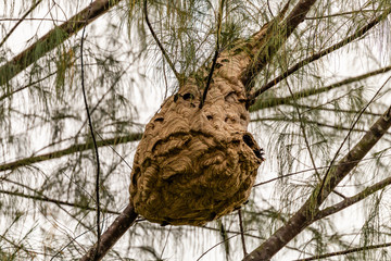 A huge Asian Hornet nest in a tree in Thailand