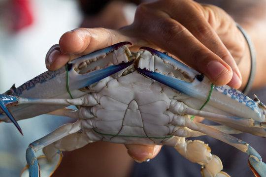 Close up of Blue crab, Blue swimmer crab (Portunus pelagicus) with black crab eggs
