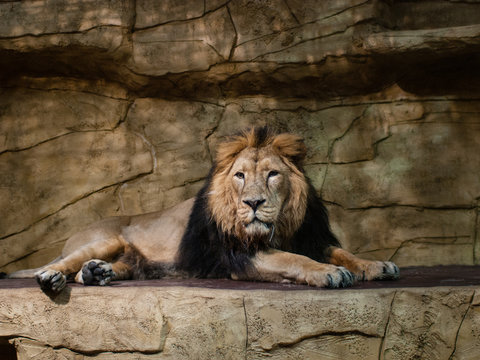 A lion in a zoo enclosure