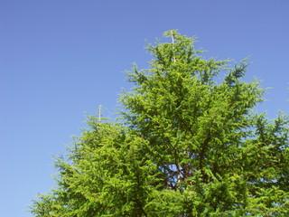 青空とヒマラヤスギ
