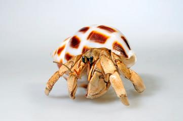 Landeinsiedlerkrebs (Coenobita sp.) - hermit crab