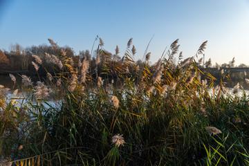 Roseaux sur les berges au bord du fleuve la Moselle