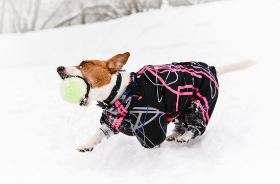 Funny active dog wearing warm coat playing with tennis ball on snow at nice winter day