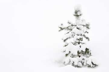 Newly fallen snow covering young Scots pine tree (Pinus sylvestris).