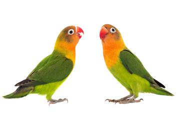 fischeri lovebird parrot