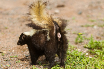 striped skunk taken in central MN under controlled conditions