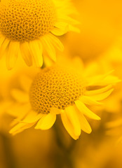 Natürliche Hintergründe - Gelbe Blumen Färberkamille (Anthemis tinctoria )