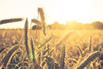 field of golden wheat - sun backlight