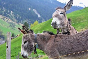 Tuinposter Ezel Donkeys in Nature