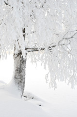Snow and frost covered birch tree on riverbank. Winter view.