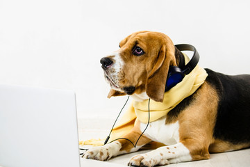stylish cute funny beagle dog watching laptop and listening to music on the floor